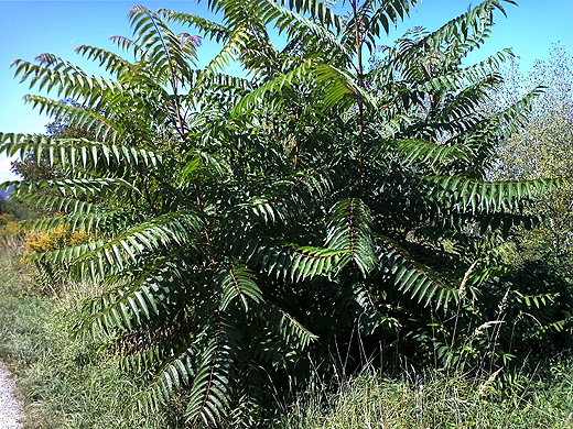 Am liebsten würde ich den mit einem Bagger ausgraben :-). Auf dem Bild sind mehrere Exemplare ineinander, die wie ein Busch wachsen. Aber die Pflanze ist definitiv baumartig und kann auch sehr hoch werden (hab zumindest schon sehr hohe gesehen).
