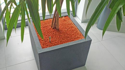 """Ficus Benjamin """"Ficus irregularis, Maclelland"""""""
