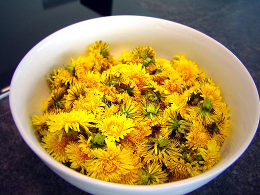 """Die Blüten mit Blütenkelch abzupfen und in einer Schüssel sammeln. Dabei die Blüten nicht zu viel schütteln, da so der """"geschmacksgebende"""" Blütenstaub abfallen würde. Möglichst Blüten nehmen, die frisch aussehen und wo keine sichtbaren Insekten drauf sitzen. Dann die Schüssel ca. 10 Minuten stehen lassen, damit Fluginsekten wegfliegen und """"Würmchen"""" nach unten kriechen können. Keinesfalls (wie in manchen Rezepten angegeben) die Blüten abbrausen oder waschen, da sonst der Blütenstaub weg wäre."""