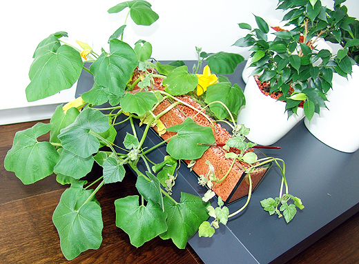 Da wir (gottseidank) im Haus keine Insekten oder Bienen haben, muss ich die Blüten mit einem Pinsel bestäuben. Man möchte ja später einmal Früchte ernten.